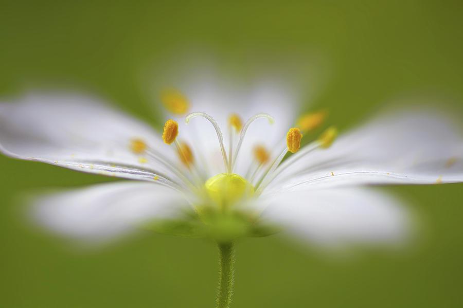 Macro Photograph - Softly Stitchwort by Mandy Disher