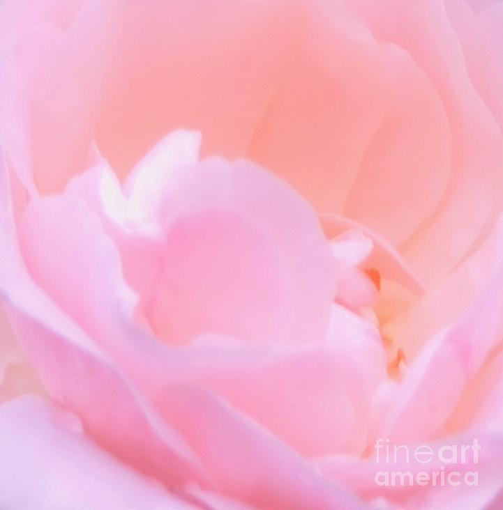 Pink Photograph - Softness Of A Rose by Kathleen Struckle