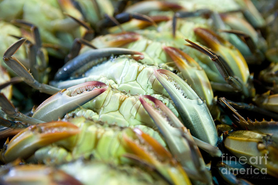 Blue Crab Photograph - Softshell Blue Crabs On Their Backs by Iris Richardson