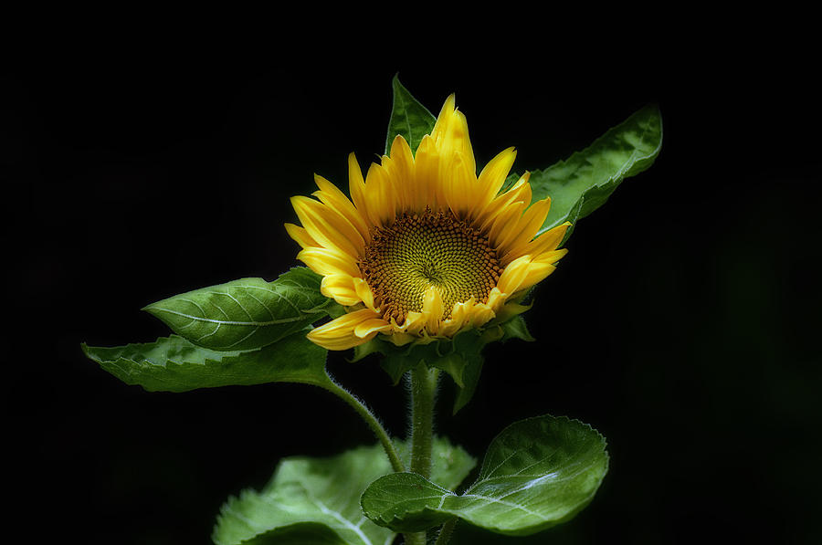 Sunflower Photograph - Solitary Beauty by Liz Mackney