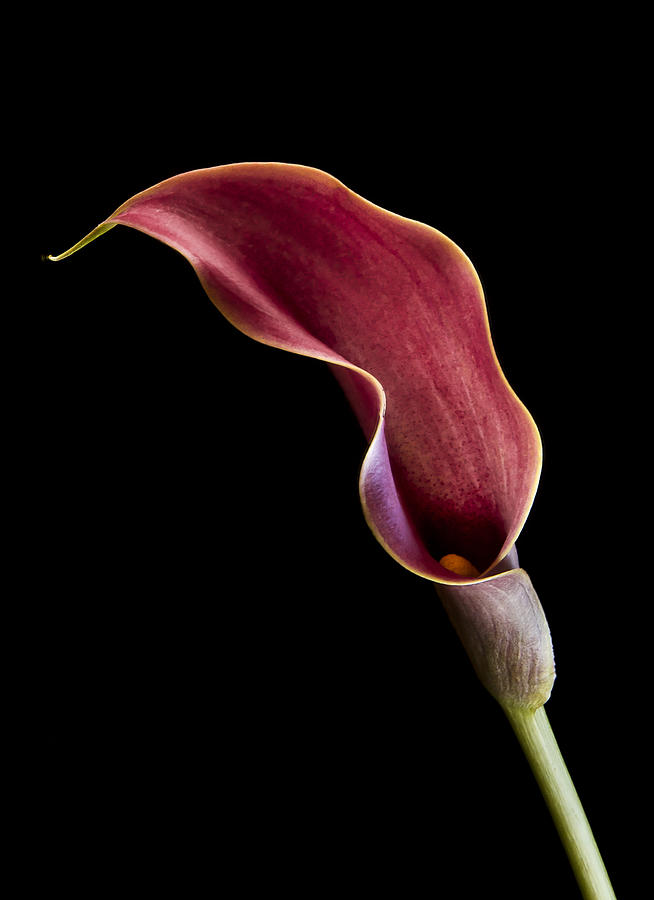 Flower Photograph - Solitary Calla  by Jean Noren