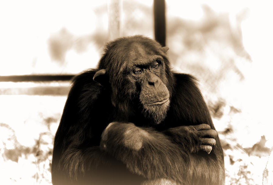 Chimp Photograph - Solitude by Aditya Misra