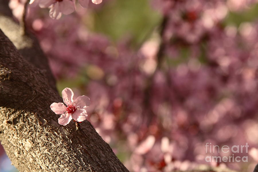 Nature Photograph - Solo In The Blossom Chorus by Jennifer Apffel