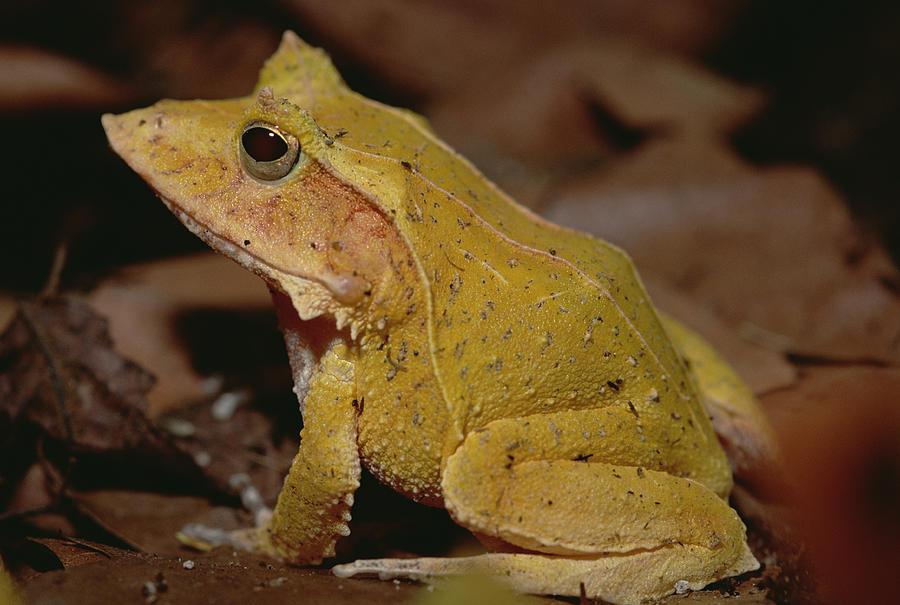 Solomon Island Leaf Frog Photograph by Gerry Ellis
