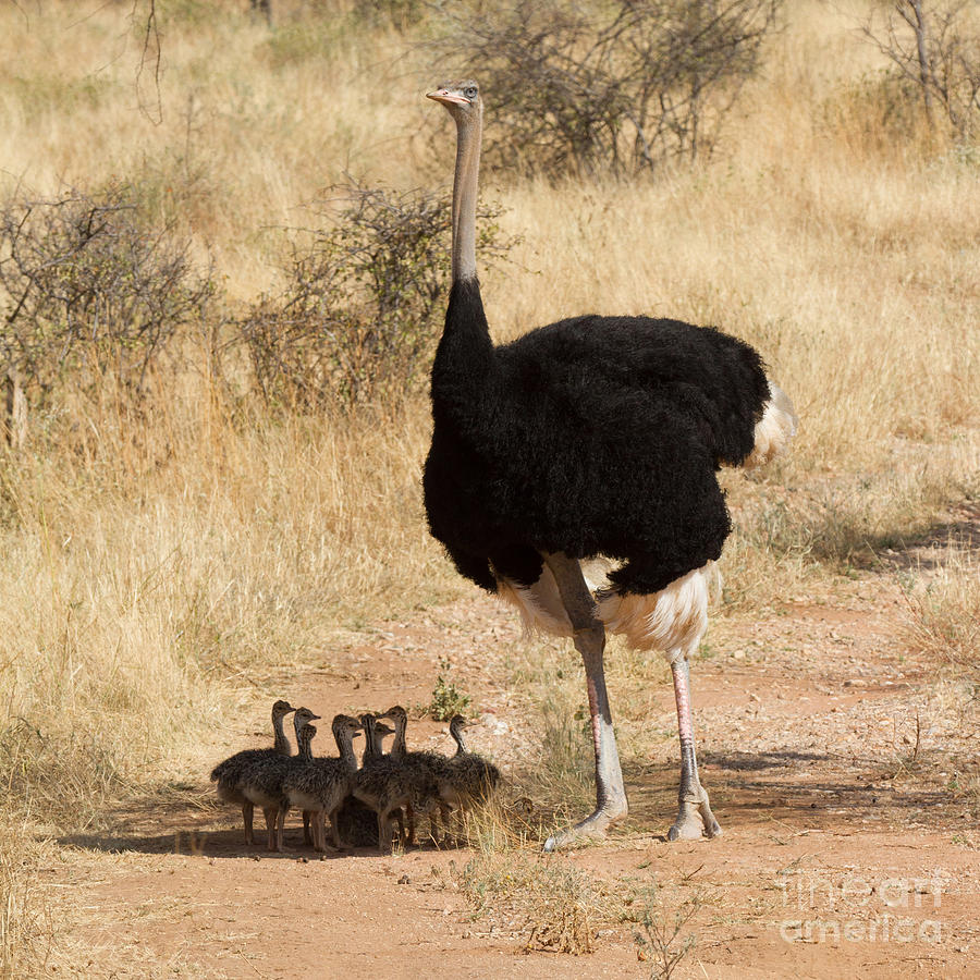 Bird Photograph - Somali Ostrich Family by Chris Scroggins