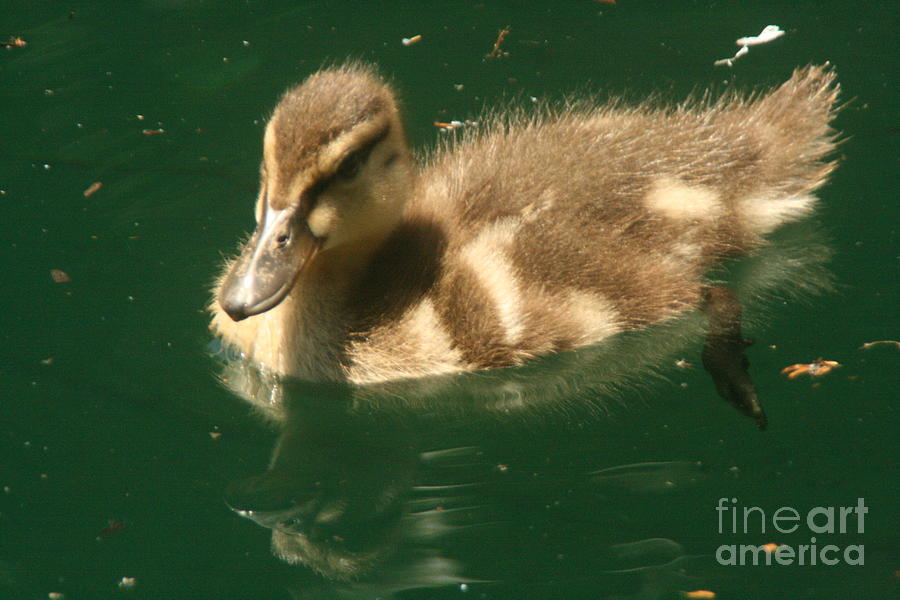 Duck Photograph - Someone Following Me  by Linda Walker