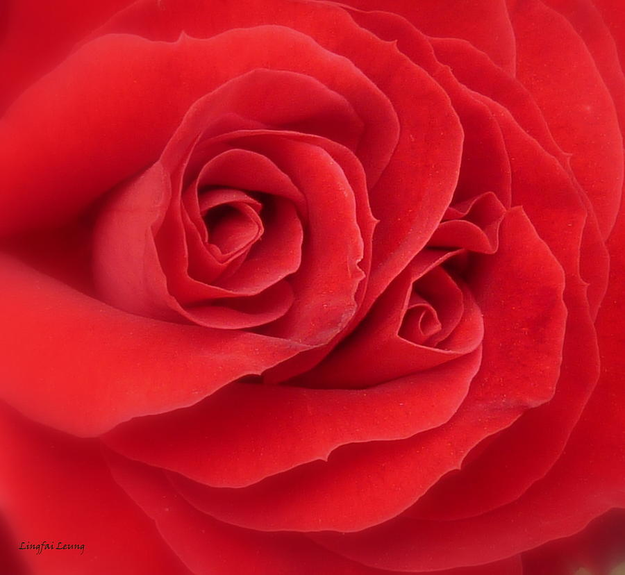 Red Rose Photograph - Someone Watch Over Me by Lingfai Leung