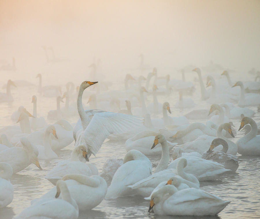 Swans Photograph - Song Of The Morning Light by Dmitry Dubikovskiy
