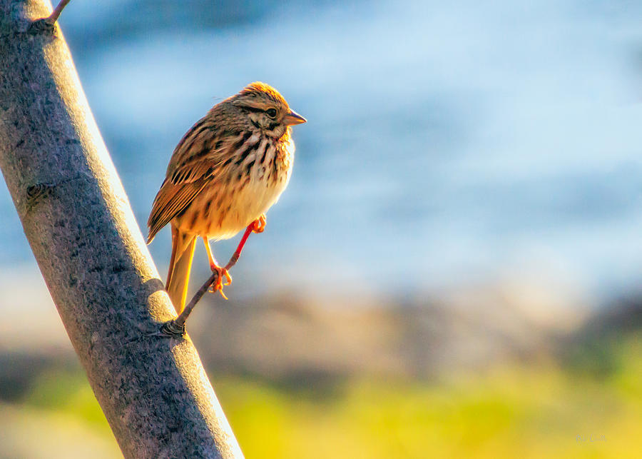 Bird Photograph - Song Sparrow by Bob Orsillo