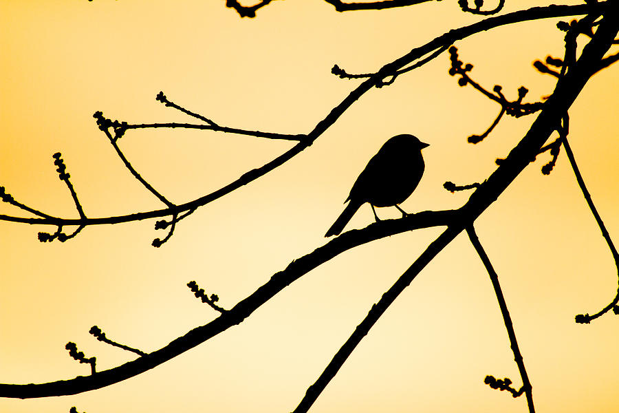 Songbird Photograph - Songbird Sunset Silhouette  by Nathaniel Kidd