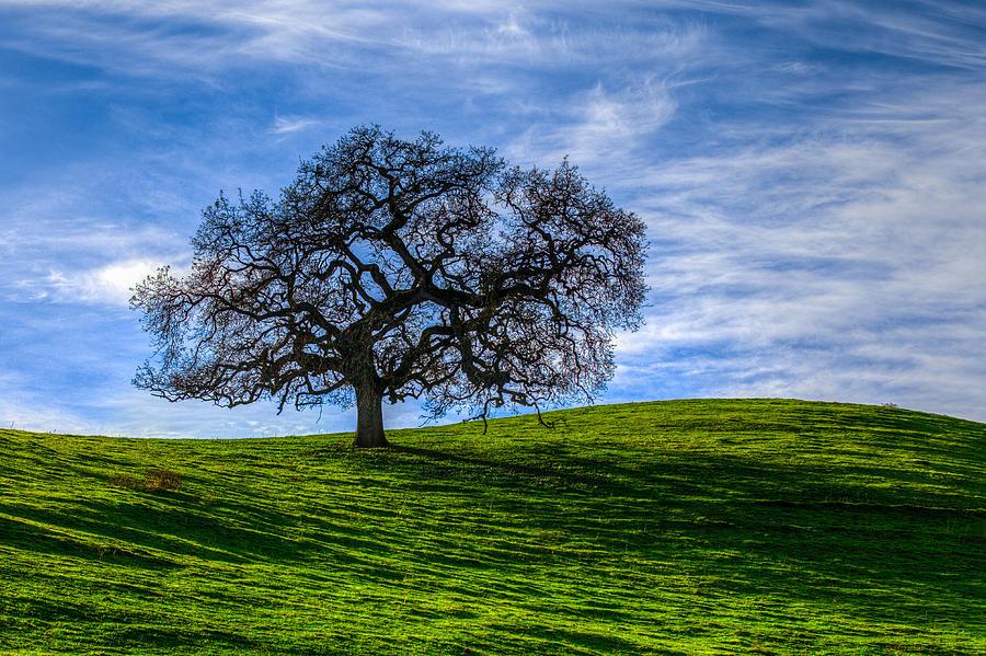 Tree Photograph - Sonoma Tree by Chris Austin