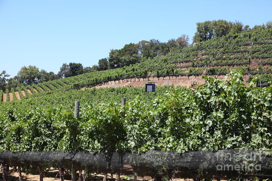 Sonoma Photograph - Sonoma Vineyards In The Sonoma California Wine Country 5d24503 by Wingsdomain Art and Photography