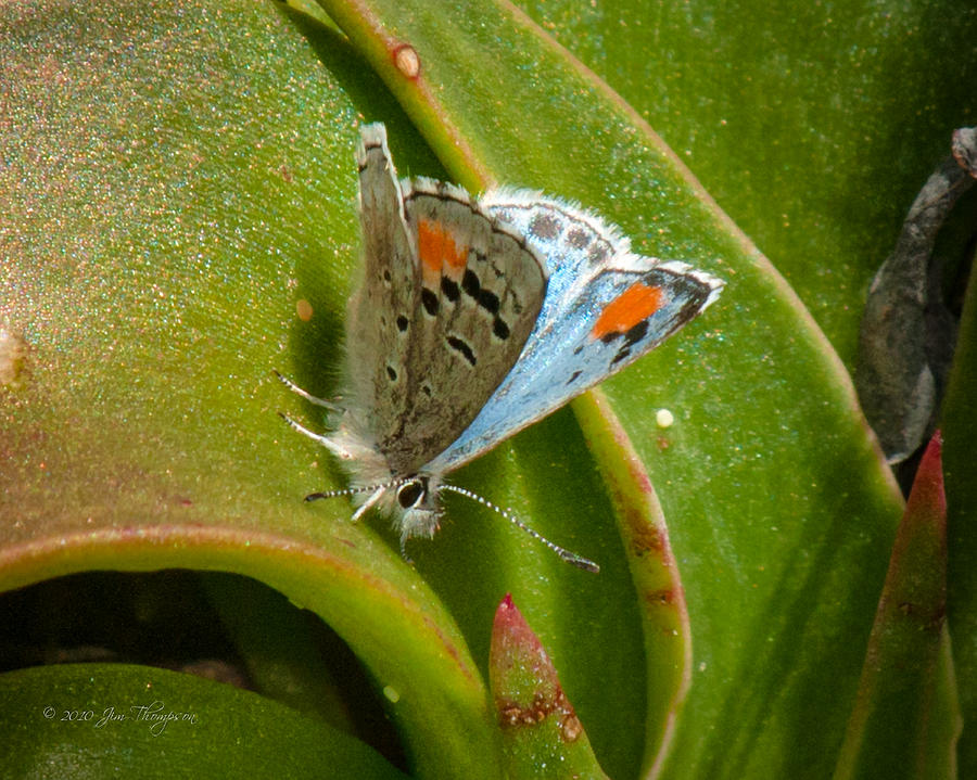 Butterfly Photograph - Sonoran Blue by Jim Thompson