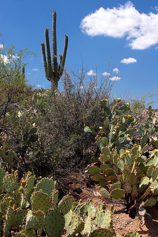Desert Photograph - Sonoran Desert Spring by Joe Kozlowski