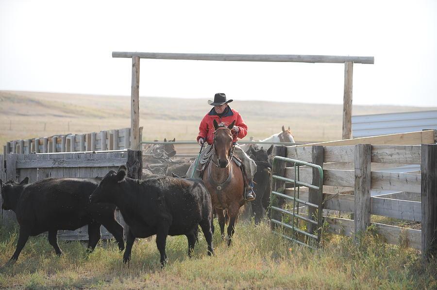Cowboy Photograph - Sorting Heifers by Lee Raine