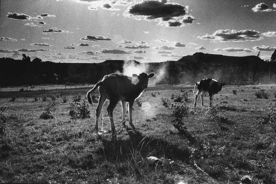 Cattle Photograph - South Africa 1993 by Rolf Ashby