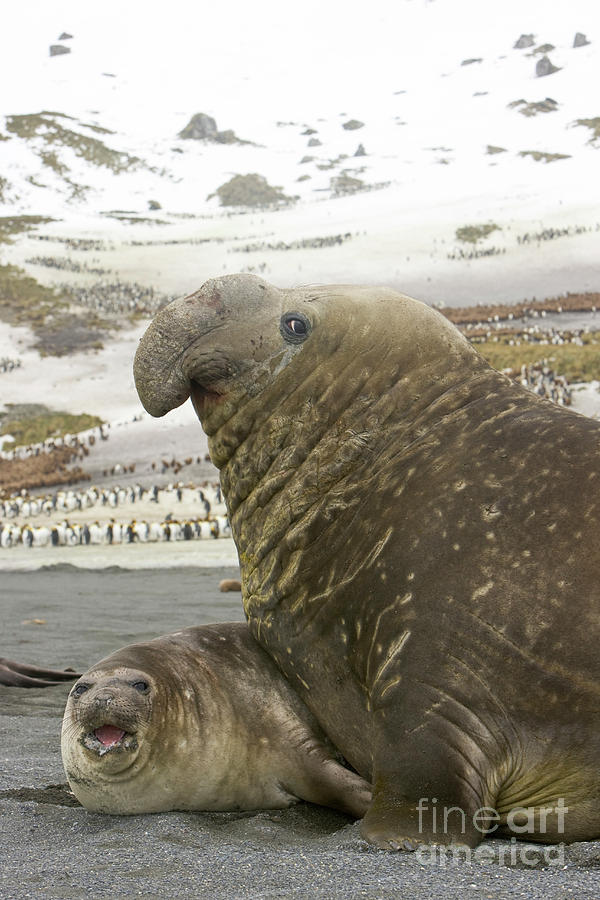 Southern Elephant Seal Couple  Photograph by Yva Momatiuk John Eastcott