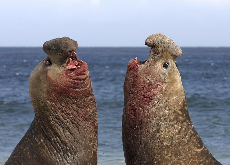 Southern Elephant Seal Males Competing Photograph by Hiroya Minakuchi