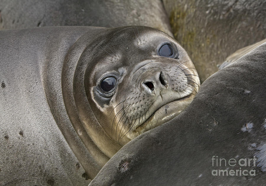 Southern Elephant Seal Pup  Photograph by Yva Momatiuk and John Eastcott