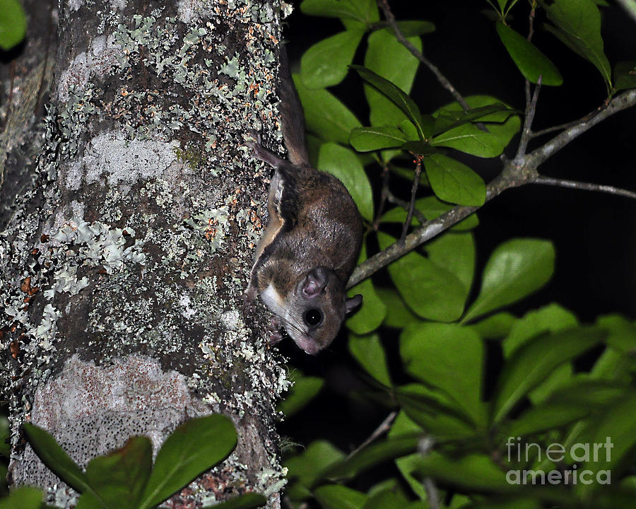 Squirrel Photograph - Southern Flying Squirrel by Al Powell Photography USA