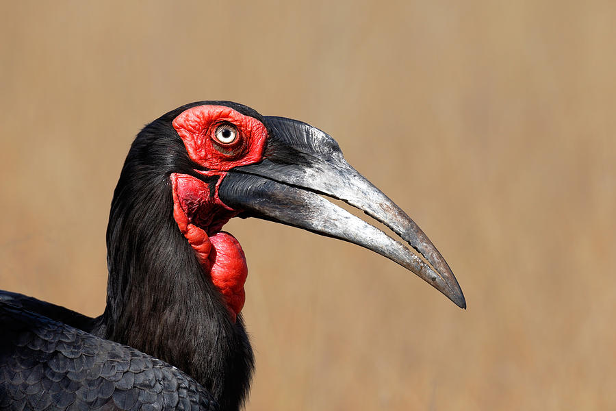 Southern Photograph - Southern Ground Hornbill Portrait Side View by Johan Swanepoel