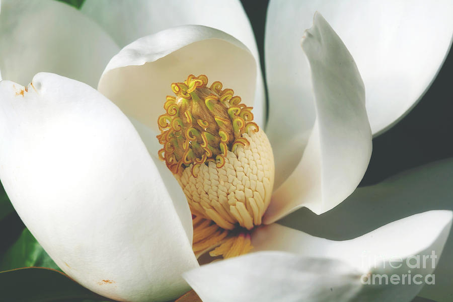 Southern Magnolia Tree Bloom Photograph By Joan Mccool