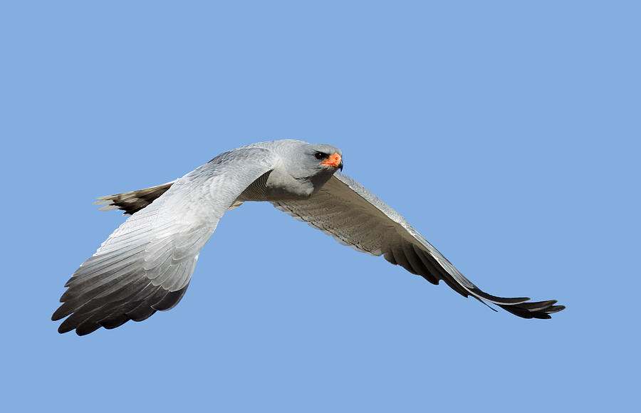 Southern Pale Chanting Goshawk In Flight Photograph