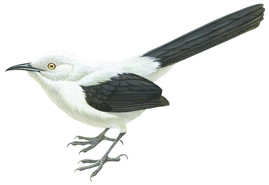 No People; Horizontal; Full Length; White Background; One Animal; Wildlife; Turdoides Bicolor; Southern Pied Babbler; Zoology; Black Color; White Color Drawing - Southern Pied Babbler  by Anonymous