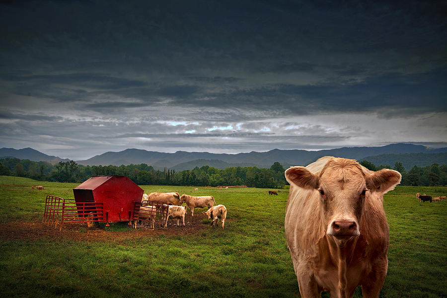 Cow Photograph - Southern Steer by William Schmid