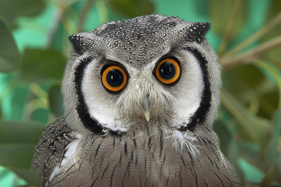 Southern White-faced Owl Portrait Photograph by San Diego Zoo