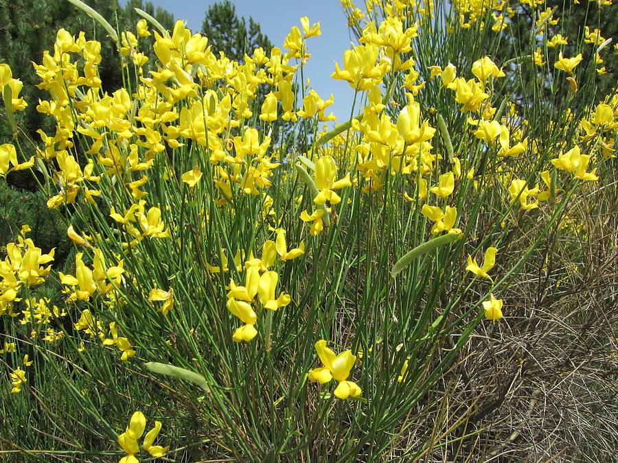Yellow Photograph - Spanish Broom 1 by Pema Hou