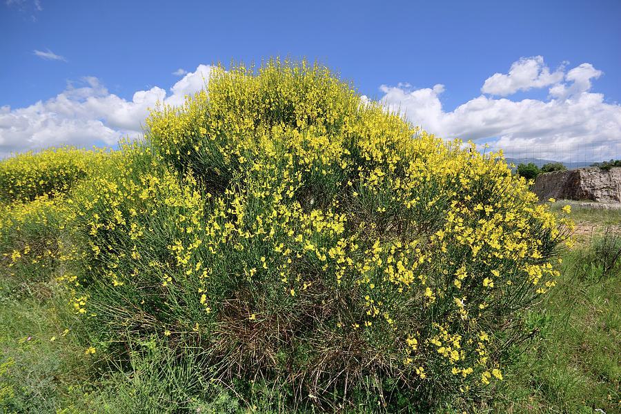 Spartium Junceum Photograph - Spanish Broom (spartium Junceum) by Bruno Petriglia