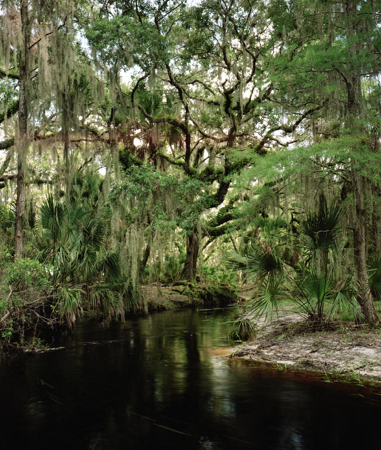 Creeks Photograph - Spanish Moss And Oak. Three Lakes W.m.a. by Chris  Kusik