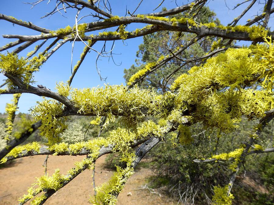 Spanish Moss in Juniper by William McCoy