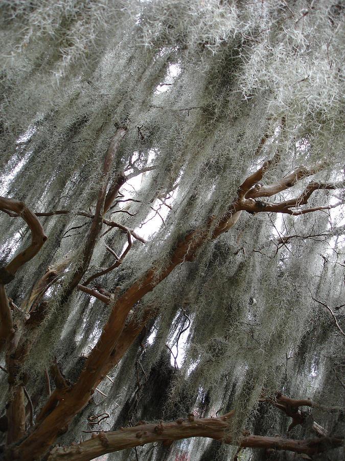 Nature Photograph - Spanish Moss by Michel Mata