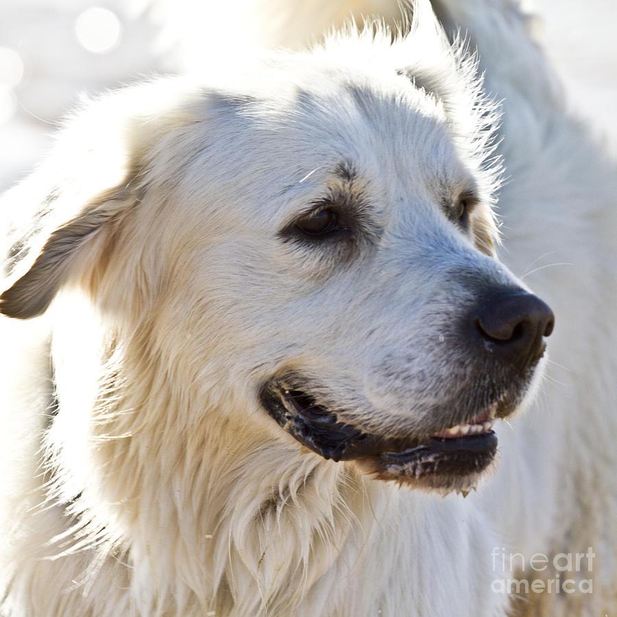 Spanish White Dog Photograph