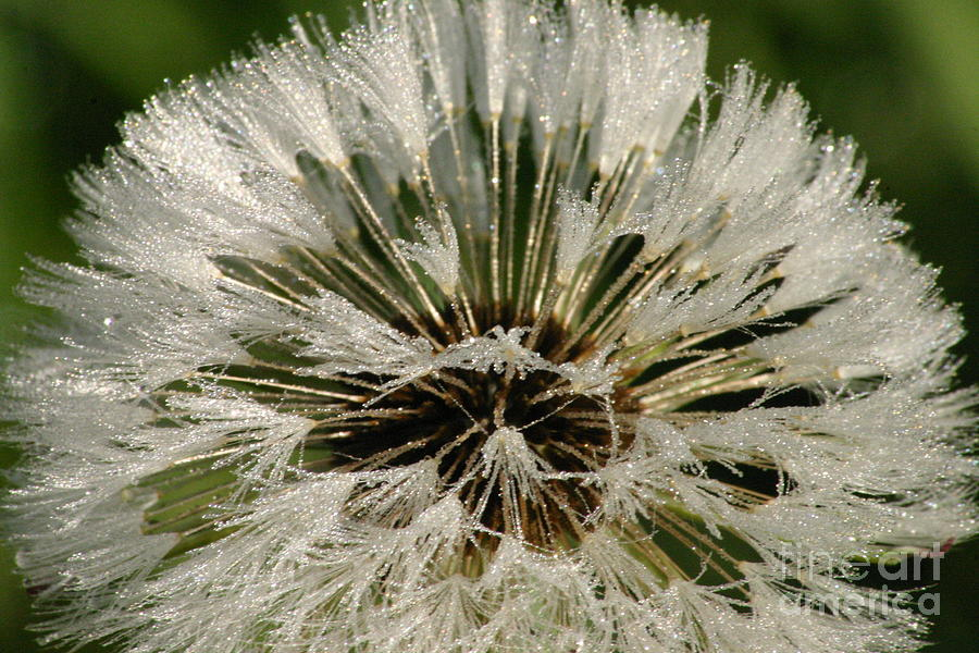 Dew Photograph - Sparkling Dandelion by Tayt Dame