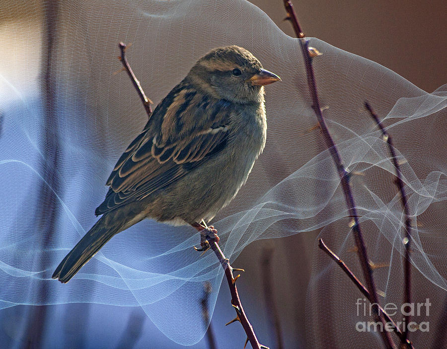 Sparrow Photograph - Sparrow In A Weave by Janice Pariza
