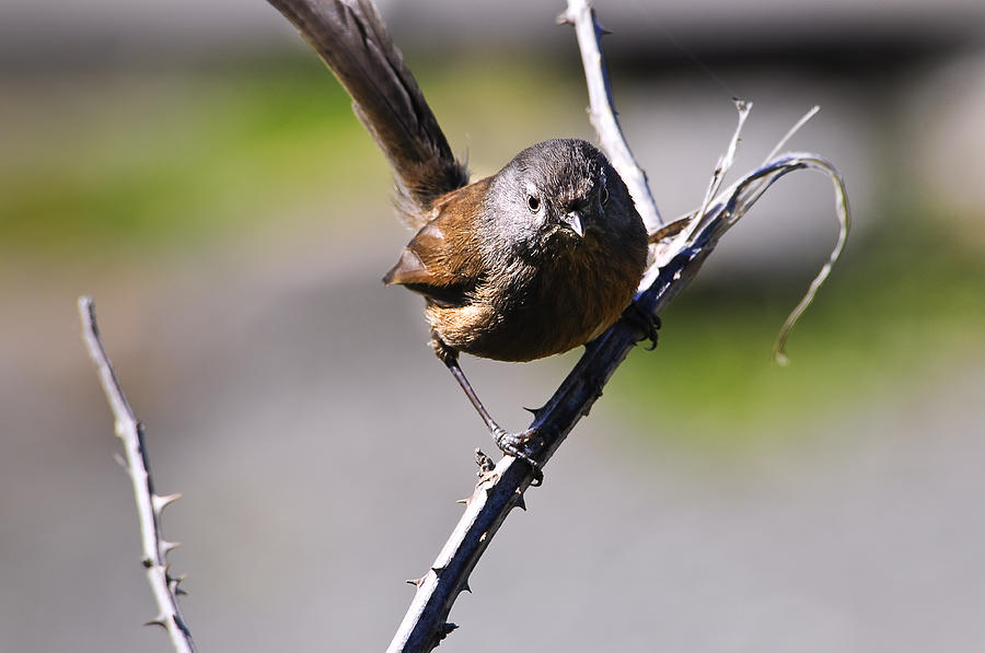 Angry Photograph - Sparrow On A Branch by Don and Bonnie Fink
