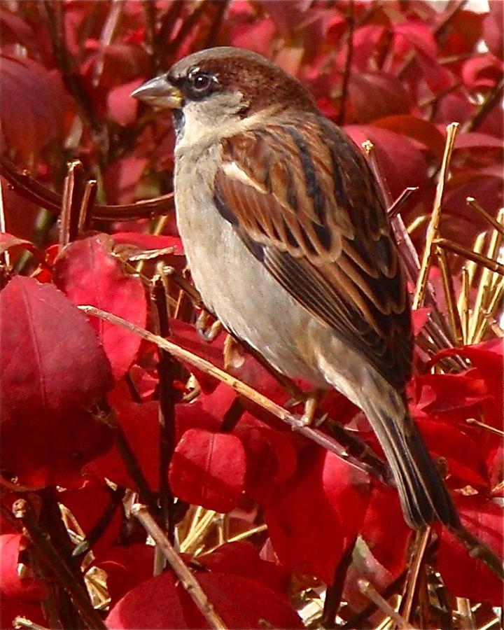 Sparrow Photograph - Sparrow by Rona Black