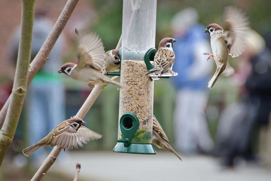 Sparrows At Nut Feeder Photograph by Colin Mcdonald