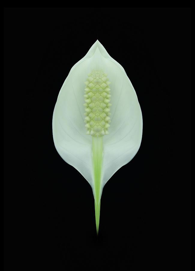 Spathiphyllum Black Background Photograph by Fuhito Kanayama