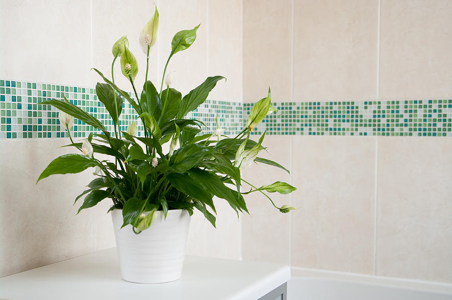 Spathiphyllum Peace Lily indoor plant Photograph by GavinD