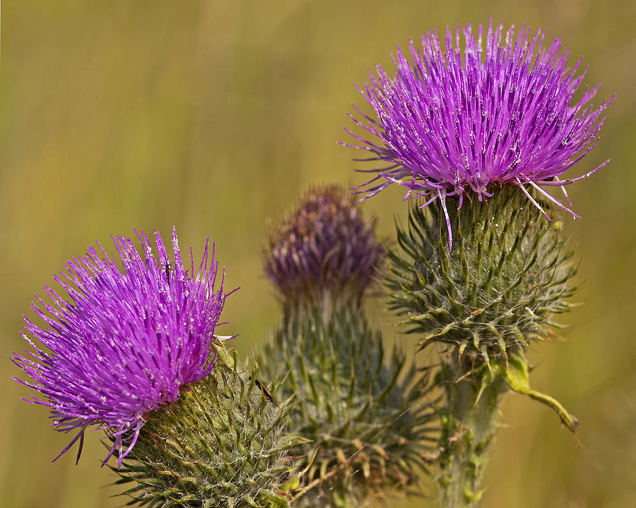 Weed Photograph - Spear Thistle by Paul Scoullar