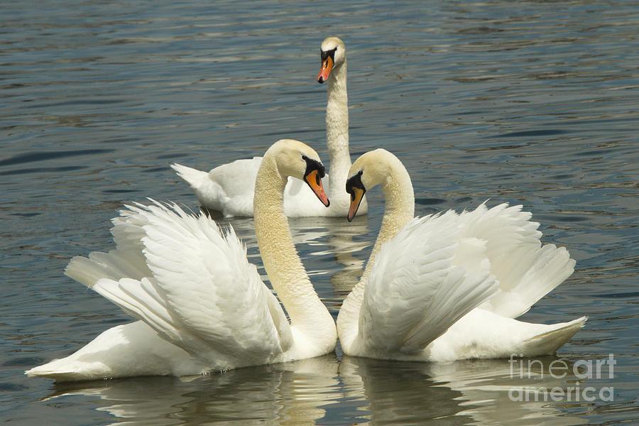Swan Photograph - Special Kinda Love by Andrea Kollo