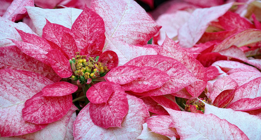 White Photograph - Specialty Poinsettias  by Donna Pagakis