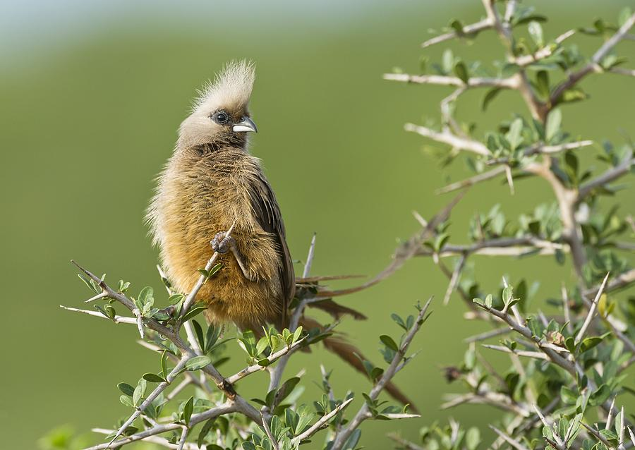 Biology Photograph - Speckled Mousebird by Science Photo Library