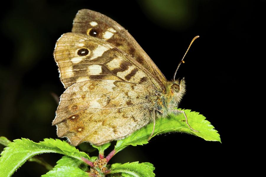 Speckled Wood Photograph - Speckled Wood Butterfly by John Devries/science Photo Library