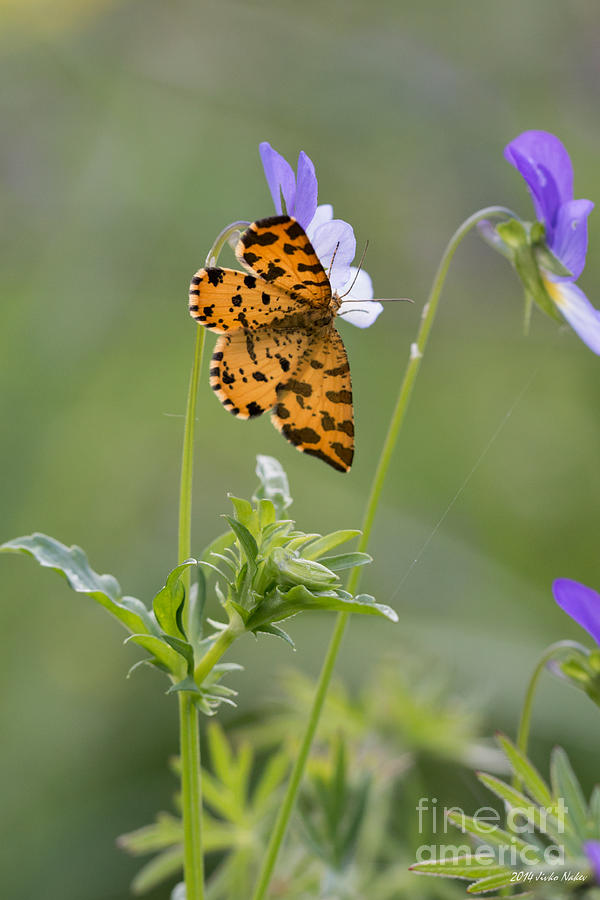 Bulgaria Photograph - Speckled Yellow Moth On Pansy Wild Flower by Jivko Nakev