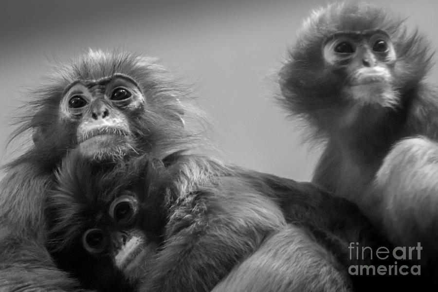 Spectacled Langur Family Photograph
